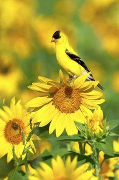 Sunflowers For Birds.. Save money feeding birds by harvesting sunflower seeds from your garden.