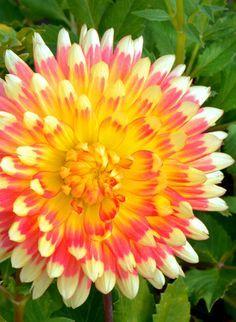 Dahlia 'Gudoshnik' | Bicolor Orange and Yellow Cactus Dahlia (double flowers, long, narrow, pointed petals recurved over half of florets) | Val de Loire Lepage
