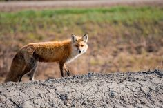 A fox at my work site  #animal #site