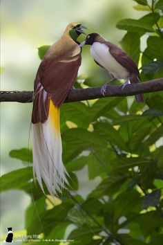 Lesser Bird of Paradise (Paradisaea minor) | Flickr - Kong K S