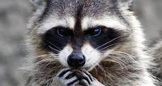Resultado de imagem para raccoon