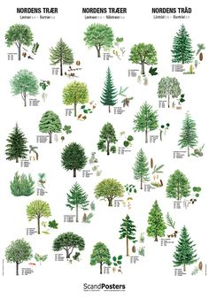 Recognize the trees from the nature with a beautiful and unique tree poster. Each tree is depicted with leaves and flowers, seeds and fruits respectively. British Birds Identification, Leaf Identification, Conifer Trees, Deciduous Trees, Bird Poster, Poster Poster, Nature Posters, Watercolor Plants, Unique Trees