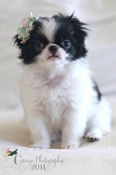 Japanese Chin puppy- Binka