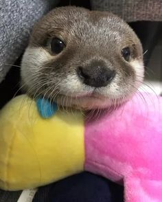 Otters Cute, Baby Otters, Otters Funny, Cute Little Animals, Cute Funny Animals, Baby Animals Pictures, Animals And Pets, Otter Love, Axolotl