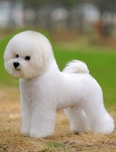 Bichon Frise ♡ opawz.comsupply pet hair dye,pet hair chalk,pet perfume,pet shampoo,spa....