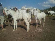 Gallery - McCafferty's American White Draft Horses Draft Horses, Cattle, American, Gallery, Animals, Gado Gado, Roof Rack, Animaux, Cow
