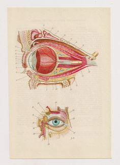 from https://www.etsy.com/listing/126703939/2-vintage-anatomical-prints-eye-bones?ref=shop_home_active    2 Vintage Anatomical Prints eye bones skull Medical Diagrams illustrations Anatomy Print Paper Ephemera Old Victorian