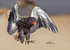 """Bateleur (Terathopius ecaudatus) is a medium-sized eagle in the family Accipitridae. Its closest relatives are the snake eagles. It is the only member of the genus Terathopius and may be the origin of the """"Zimbabwe bird,"""" national emblem of Zimbabwe. It is endemic to Africa and small parts of Arabia. """"Bateleur"""" is French for """"Street Performer"""".  wiki"""
