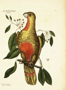 """Plate 10, Parrot of Paradise""  The Natural History of Carolina, Florida, and the Bahama Islands. Special Collections Image Gallery from the National Agricultural Library"