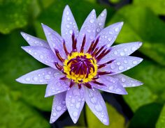 Purple Water Lily Throw Pillow for Sale by Venetia Featherstone-Witty Photography Contests, Macro Photography, Online Contest, May Flowers, April Showers, Pillow Sale, Rain Drops, Fine Art America, Lily