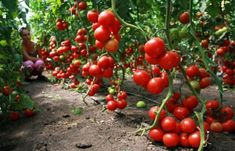 How to care for tomatoes so that there is a good crop in the open ground? Summer House Garden, Dream Garden, Farm Gardens, Outdoor Gardens, Tomato Tree, Small Farm, Growing Plants, Fruit Trees, Fruits And Vegetables