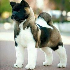 A handsome American  Akita puppy