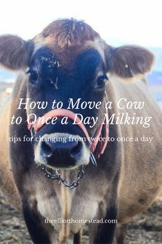 How to Move a Cow to Once a Day Milking www.theelliotthomestead.com