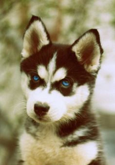 I want a blue eyed Alaskan husky!!!