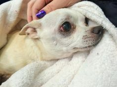 Press charges against Seattle man that attacked chihuahua, leaving him paralyzed! Animal Petitions by YouSignAnimals.org. Sign the Petition here: http://www.yousignanimals.org/Press-charges-against-Seattle-man-that-attacked-chihuahua-leaving-him-paralyzed-t-546 Chilly, a beloved Chihuahua was attacked on October 30 by his owner's boyfriend. Gina Mastandrea received a messages in whi...