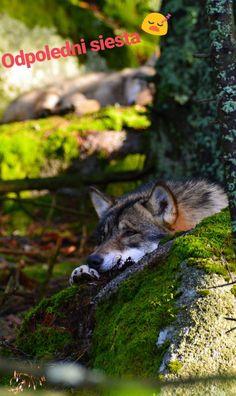 Vlci Šumava