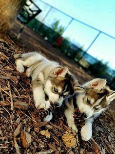 Siberian Huskies                                                                                                                                                     More