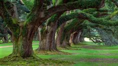 Live Oaks, Oak Alley Plantation wallpaper free