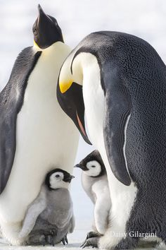 National Geographic Your Shot - Megan - National Geographic Your Shot Photograph by Daisy Gilardini - Emperor penguin family - Snow Hill Island - Antarctica March Of The Penguins, Baby Penguins, Fluffy Animals, Cute Baby Animals, Nature Animals, Animals And Pets, Animal Original, Animal Photography, Wildlife Photography