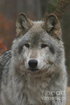 Timber Wolf Print By Ken Keener