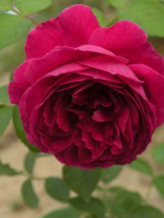 ~David Austin English Rose - Falstaff