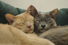 Two Burmese cats cuddling up.