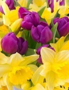 Purple tulips and daffodils