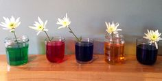Rainbow Flower Experiment - observe how a flower sucks up the liquid it stands in right up to the tip of the petal.