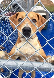 New Kent, VA - Hound (Unknown Type)/Terrier (Unknown Type, Medium) Mix. Meet Ryker, a dog for adoption. http://www.adoptapet.com/pet/16580403-new-kent-virginia-hound-unknown-type-mix