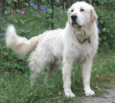 Lots of great info on training LGDs, Great Pyrenees in particular.