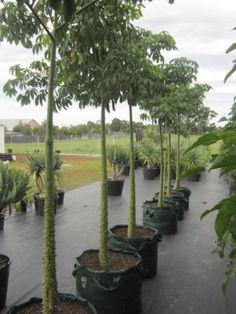 200 best brasilianischer florettseidenbaum chorisia speciosa chorisia speciosa silk floss tree mightylinksfo