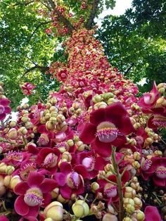 """Cannonball Tree (Couroupita guianensis) with flowers. This tree also has """"cannonballs"""" with the Brazil nut in it that fall to the ground when ripe. Strange Flowers, Unusual Flowers, Unusual Plants, Rare Flowers, Exotic Plants, Amazing Flowers, Beautiful Flowers, Yellow Flowers, Fruit Trees"""