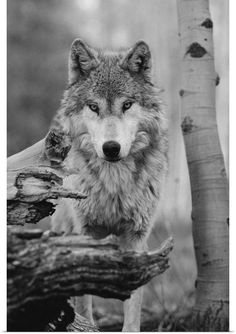 A beautiful portrait of a gray wolf, Canis lupus - Rosawolf C. - A beautiful portrait of a gray wolf, Canis lupus Wacht mit strengem Blick - Wolf Images, Wolf Photos, Wolf Pictures, Beautiful Wolves, Animals Beautiful, Canis Lupus, Wolf Husky, Wolf Spirit Animal, Wolf Photography