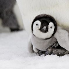 who does not love a baby penguin?