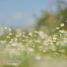 Surround yourself with this Field of Daisies Backdrop. Order online at www.backdropscanada.ca