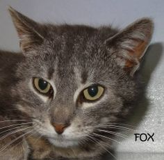 UPDATE-ADOPTED!  AVAILABLE 4/18! STRAY Tag# 29577 Name is Fox  Grey Tiger  Female-unsure of spay  Sweet girl!  https://www.facebook.com/photo.php?fbid=622959371108219&set=a.622958921108264.1073741993.267166810020812&type=3&theater