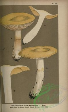 cortinarius (myxacium) arvinaceus - high resolution image from old book. Flower Ornaments, Old Book Pages, Art Clipart, Picture Collection, Botany, Wall Collage, Flora, Stuffed Mushrooms, Beautiful Pictures