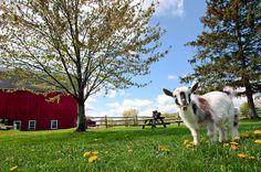 The Goats of Maple Crest Farm - Modern Farmer