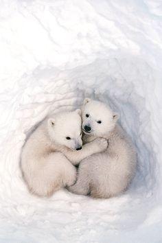 Polar bear cubs cuddling! The Den by Jenny E Ross