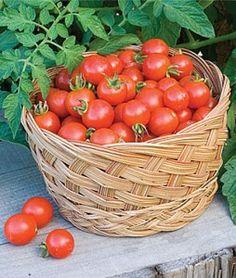 Baxters Bush Cherry Tomato
