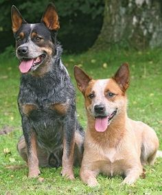 A Red & a Blue Heeler, also known as Australian Cattle Dogs. Great dogs!
