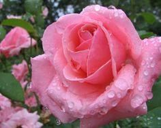 Drops On Pink Roses - Flowers Wallpaper ID 1781700 - Desktop Nexus Nature