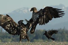 deux aigles a tete blanche juveniles ( haliaeetus leucocephalus) se battent sur une plage sous le regard d'un corbeau ( corvus corvus) bc, canada.
