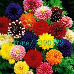 Cheap flower seed bags, Buy Quality flower rattle directly from China seed seeds Suppliers:       2015 new Hyacinthus Orientalis seeds, cheap Hyacinth seeds, Hyacinth potted seed, Bonsai balcony flower seed