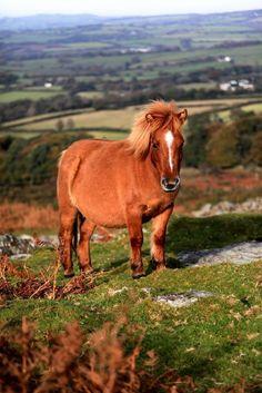 Dartmoor pony, Dartmoor. taken by Christopher Goodman