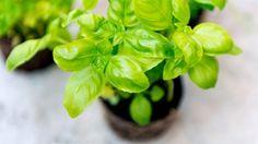 Basilikum fühlt sich an warmen, sonnigen Plätzen besonders wohl. (Quelle: Thinkstock by Getty-Images)