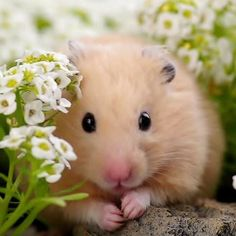 Teddy Hamster, Hamster Pics, Bear Hamster, Hamster Care, Cute Baby Animals, Animals And Pets, Funny Animals, Animal Pictures, Cute Pictures