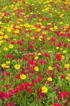 Texas Wildflowers - Red Phlox