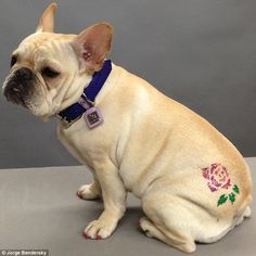 Check out the edgy tattoo on this in the Upper East Side. The tattoos are especially popular among owners of short-haired dogs. Would you consider one for your pooch? Extreme Pets, Small Dog Tattoos, Tiny Tattoo, Animal Law, Short Haired Dogs, Beaded Dog Collar, Collar Choker, Poor Dog, Dog Nails