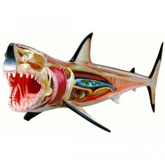 Can't learn enough about sharks? Get your hands on this 4D-Vision Great White Shark Anatomy Model!